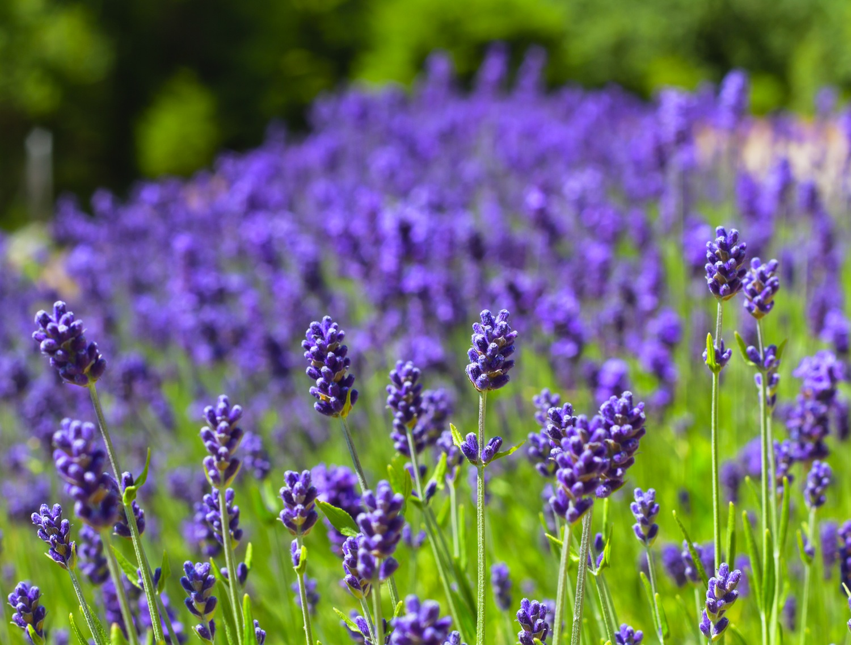 Lavenderherbs